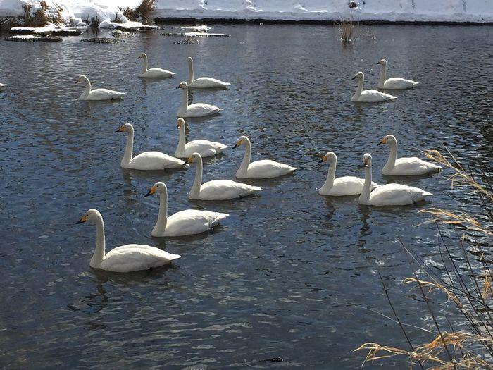 Swan Lake 😉 Japan Tadaa Community Tohoku Iwate Morioka River Winter Bird Animals In The Wild Animal Themes Lake Water Bird White Color Shades Of Winter Swan Beauty In Nature Outdoors Nature Animal Wildlife