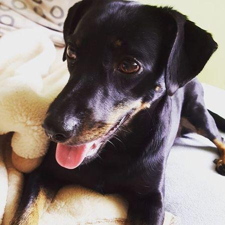 Dog Dogeyes Dogmodel Doginstagram Instadog Photodog Dogphoto Doginsta Pies Piesinst Bestdogmodel Majapies Maja Dogsofinstagram Ig_dogphot Doglife Doglifestyle Blackdogsofig BlackDog Dogmodel