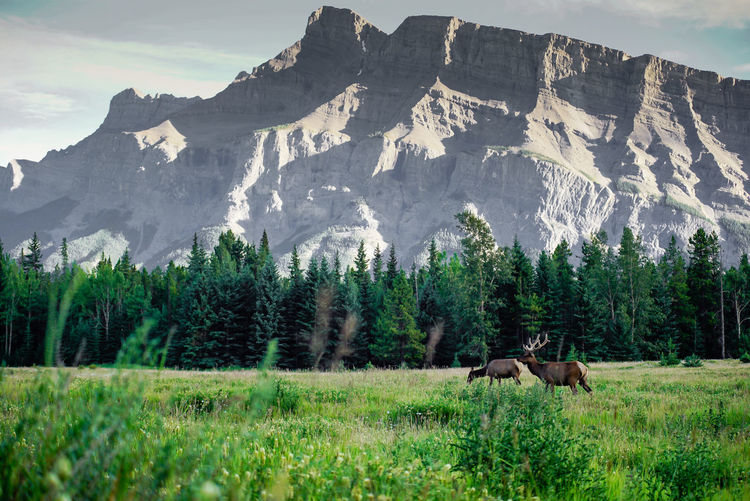 Mountain Range Banff National Park  Wildlife & Nature Animal Animal Themes Animal Wildlife Animals In The Wild Beauty In Nature Day Field Grass Landscape Mountain Mountain Range Nature No People Outdoors Rockies Scenics - Nature