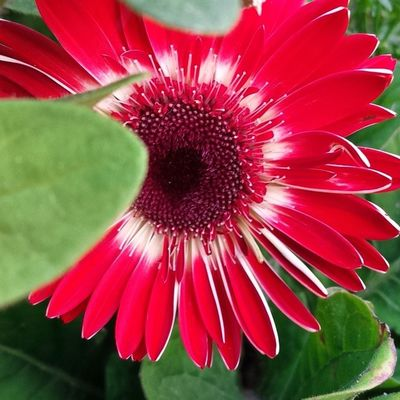 It's so worth the wait in between each bloom. I love Gerbera Daisies Sopretty Picoftheday nofilter