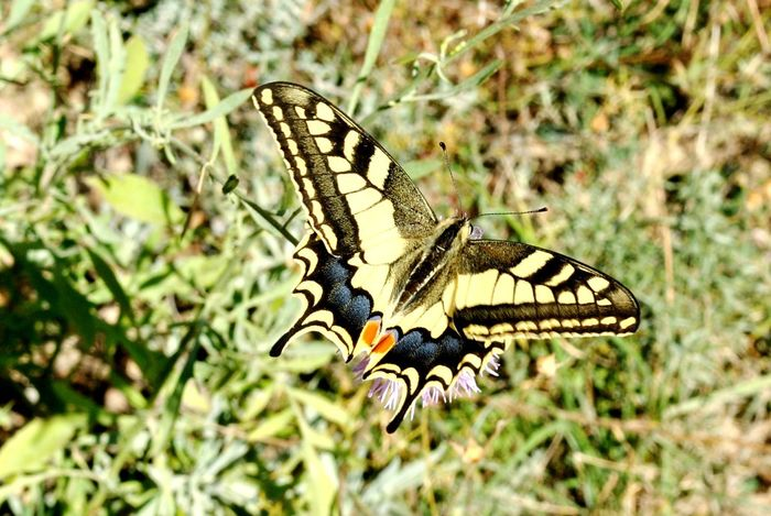 Butterfly - Insect Butterfly Macro Papilio Machaon Machaon Lepidoptera Lepidópteros Insect Photography Animals In The Wild Wildlife & Nature LaRiojaApetece Arnedillo