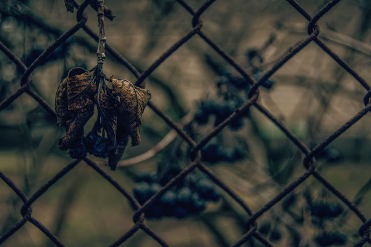 Close-Up Of Dry Leaf Hanging On Chainlink Fence