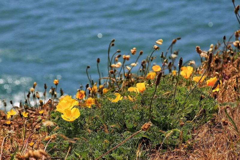 Flower Plant Water Outdoors Ocean California Poppy Sonoma Coast