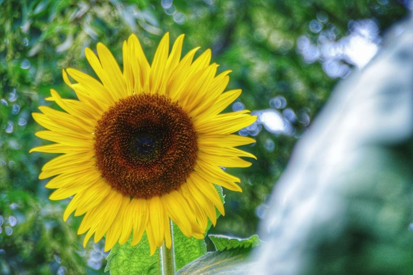 Flower Yellow Flower Head Fragility Petal Plant Freshness Nature Sunflower Beauty In Nature Growth Outdoors Day Close-up Field Blossom Summer Rural Scene No People Summer Exploratorium