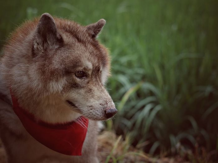 my lovely dog , a big husky is very kind! Husky ♡ Siberian Husky Outdoors Close-up Pets Protruding Dog Red Close-up Animal Tongue Animal Teeth Teeth Roaring
