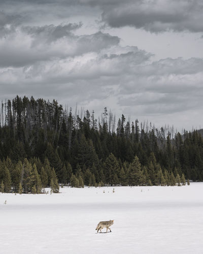 Coyote walking on snow covered landscape during winter