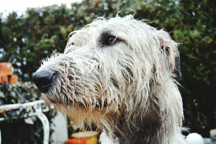 Animal Themes One Animal Focus On Foreground Outdoors Dog Domestic Animals Bokeh Animal Head  Portrait Eyes Are Soul Reflection Dogslife Dogs Of EyeEm Dogs Of Winter Cearnaigh Dog Of The Day Irish Wolfhound Cold Temperature In My Garden How Is The Weather Today? February 2017 Cold Outside Winter 2017