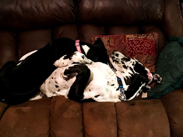Can't separate these two ever even when sleeping. Inseperable Great Danes Great Danes Domestic Animals Dog Pets Sofa Mammal Animal Themes Resting Sleeping Indoors  Lying Down Comfortable Relaxation No People Pillow