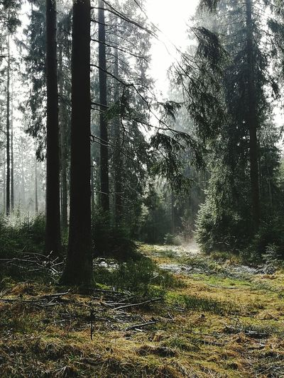 Tree Nature Forest Growth Landscape No People Day Beauty In Nature Outdoors Scenics Tranquility Sky Fog
