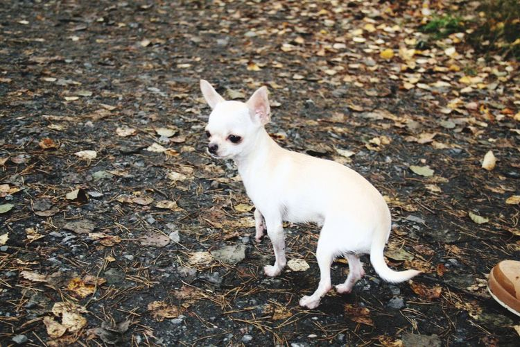 Cookie the chihuahua