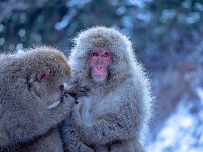 Snow Monkey at