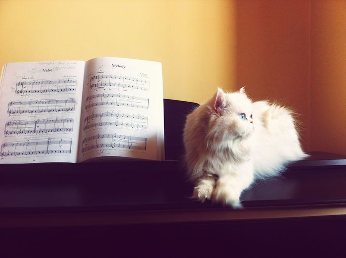 Pets Corner Persiancat Cat Whitecat Cat And Piano Catpiano Piano Cat&piano Music Animal Pastel Power Things I Like Telling Stories Differently The Portraitist - The 2016 EyeEm Awards Original Experiences 43 Golden Moments Color Palette Dramatic Angles Piano Moments TCPM