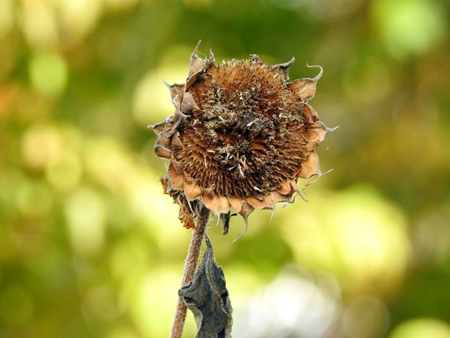 Autumn Autumn colors Dead Flower After Life Beauty In Nature Close-up Day Dead Flowers Dead Sunflower Dead Sunflowers Dried Flowers Dried Plant Flower Growth Nature No People Outdoors Plant