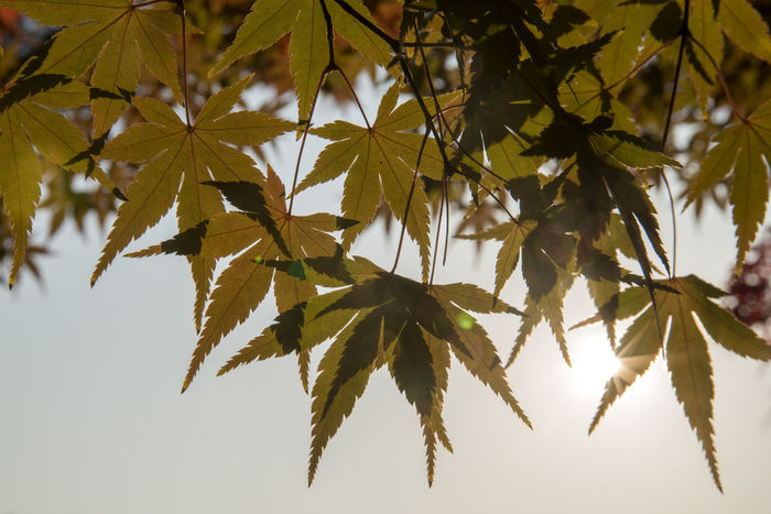 autumn at Hanbat Arboretum in Daejeon, Chungnam, South Korea Autumn Autumn Leaves Fall Beauty Hanbat Arboretum Shining Arboretum Autumn Beauty In Nature Branch Change Close-up Day Growth Leaf Low Angle View Maple Maple Leaf Maple Leaves Nature No People Outdoors Sunshine Tree