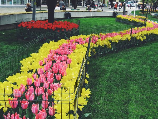 Tulip madness Hello World Enjoying Life Taking Photos Check This Out EyeEm Best Shots EyeEm Nature Lover Eye4photography  EyeEm Gallery Flowers Flower Tulips Outdoors Day Nature Streetphotography Traveling Travel Romania Photography Tree Beautiful Downtown Street Photography Photo People