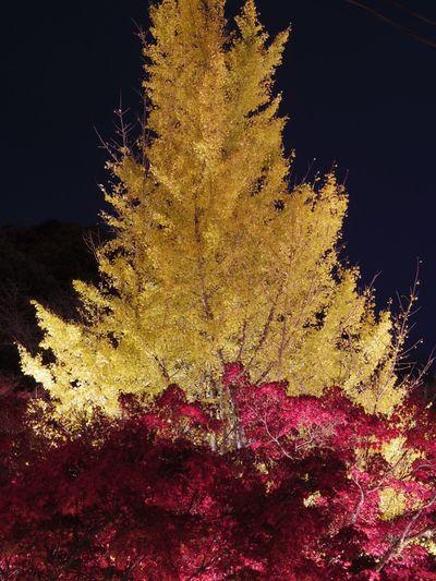 Japan Fall Nature Tree Beauty In Nature Outdoors Seto-city Aichi Autumn Seto