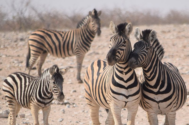 EyeEm Selects Zebra Group Of Animals Striped Animal Themes Animal Animal Wildlife Field Outdoors Domestic Animals Land Herd Animal Markings Animals In The Wild Nature Vertebrate Herbivorous Day Mammal No People Safari