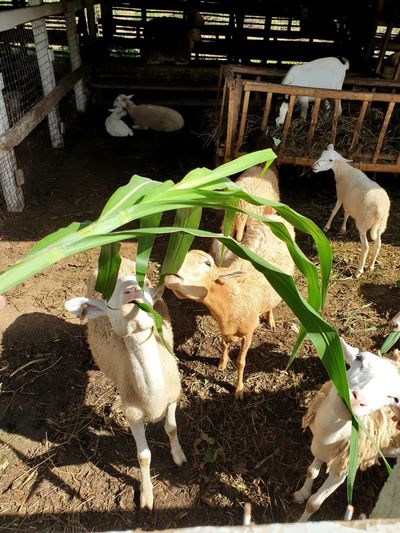 High angle view of goats in farm