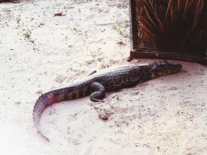 Animal Themes Nature Animals In Captivity Zoophotography Photograph Zoo Animals  Sleeping Yacare
