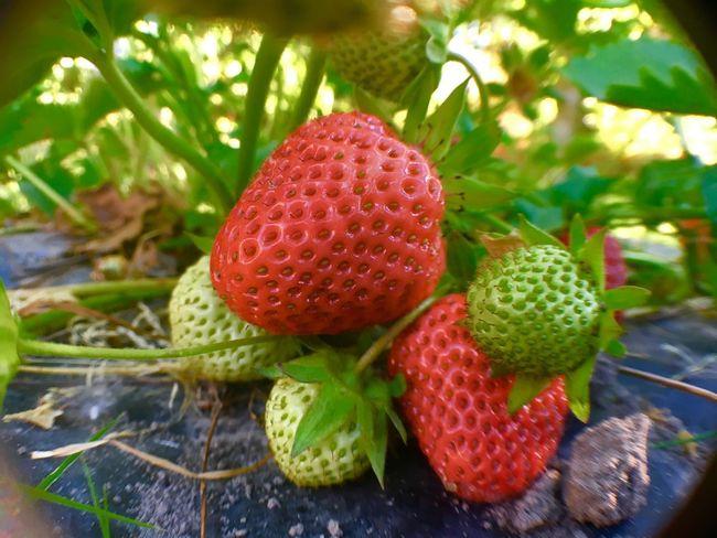 Strawberry No People Outdoors Sunshine :) Enjoying Life