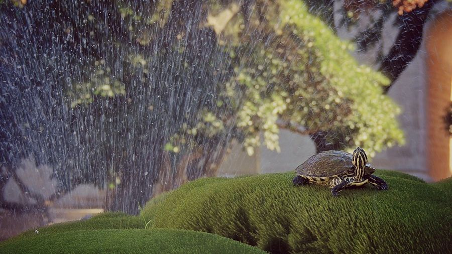 Turtle on grass against fountain