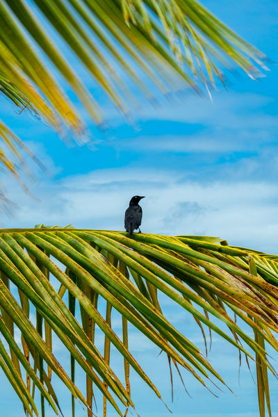Black bird sitting on palm leaf One Animal Vertebrate Sky Animal Themes Animal Animal Wildlife Bird Animals In The Wild Plant Palm Tree No People Nature Day Perching Leaf Palm Leaf Outdoors Low Angle View Tree Cloud - Sky Black Bird Sing To Me Palm Leaf Paradise Blue Sky Clouds