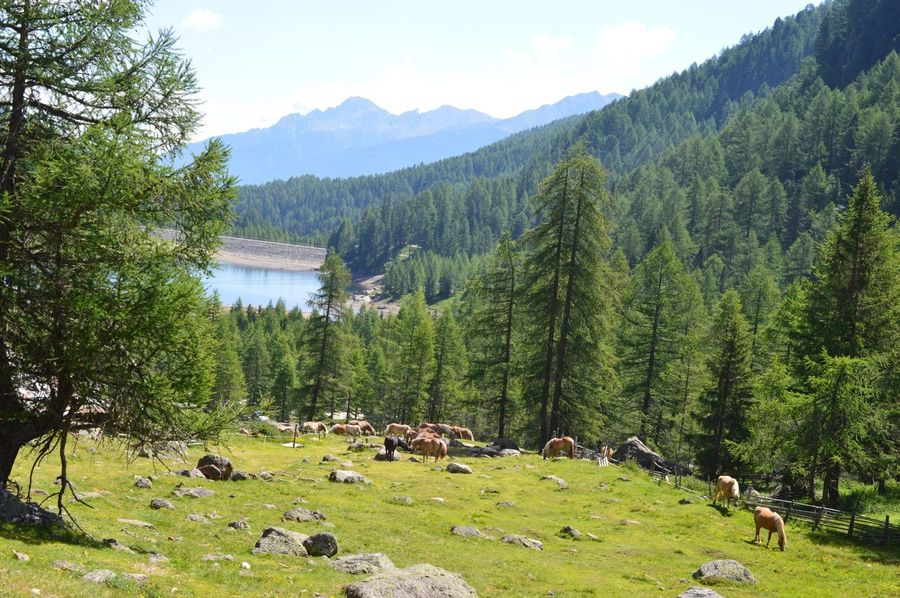 Italien Italy Italia Alto Adige South Tyrol Südtirol Ultental Horse Plant Tree Beauty In Nature Tranquility Green Color Scenics - Nature Tranquil Scene Growth Non-urban Scene Sky Mountain Outdoors Water Day Nature Land Lake No People Idyllic Sunlight
