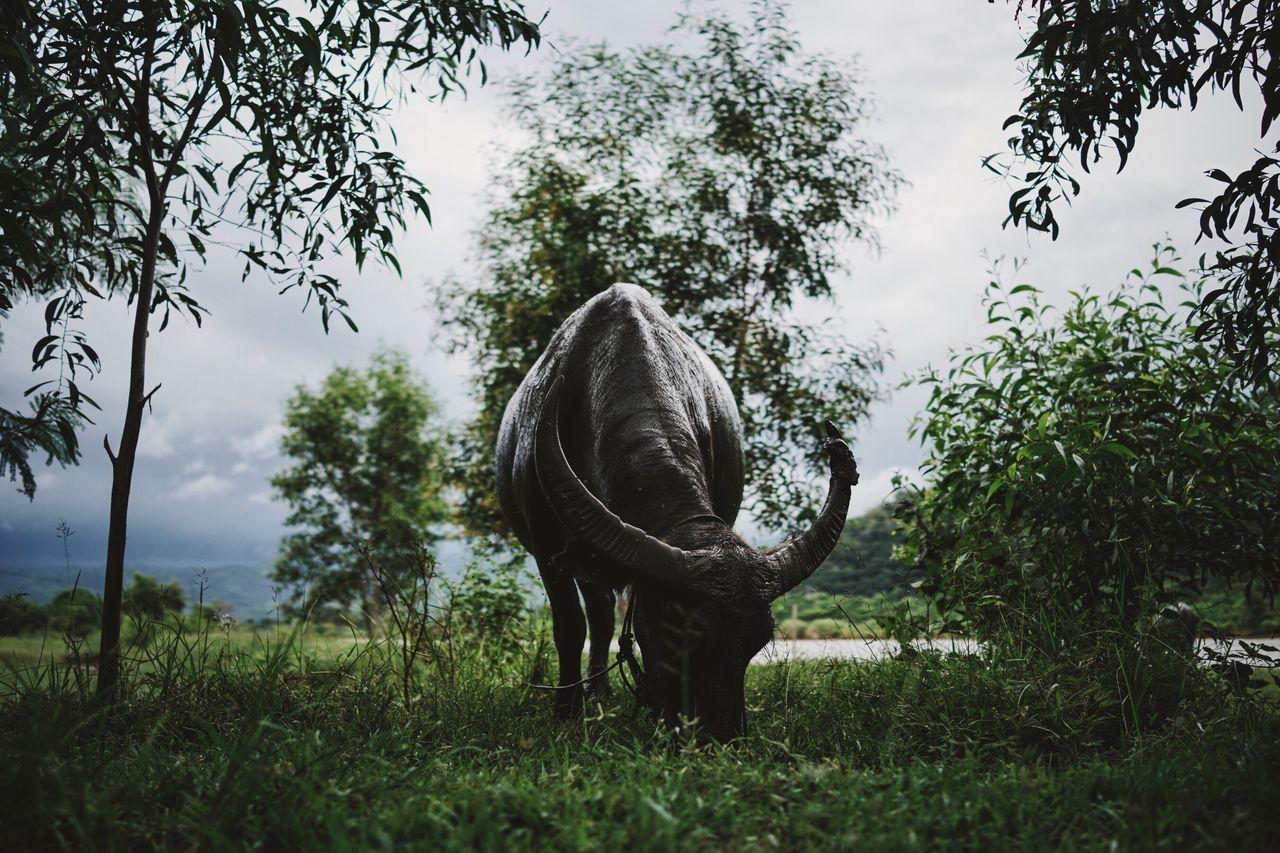 Water buffalo grazing on grassy field against sky