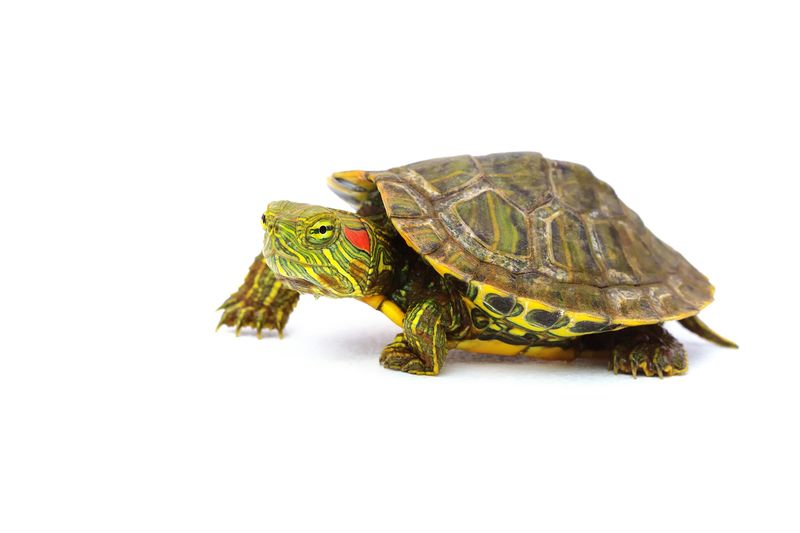 turtle Red Eared Slider Red Eared Slider Turtle Wildlife Pet Tortoise Shell Tortoise Reptile White Background Close-up Turtle Shell Slow Crawling