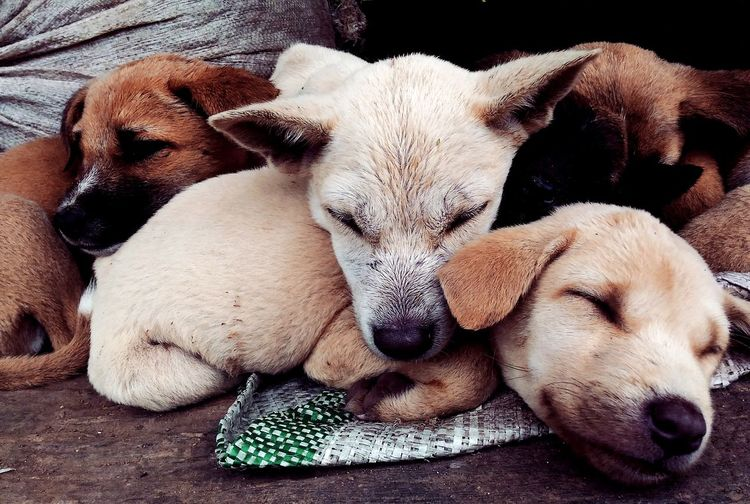 togetherness Waerebo Waerebovillage Wild Animal #wild Wildlife Photography Animalinstict EyeEmNewHere Pets Dog Portrait Relaxation Lying Down Close-up Sleeping At Home Stray Animal Adult Animal Home Animal Face Napping Pampered Pets Stuffed Toy Pet Bed Pit Bull Terrier Snout Capture Tomorrow 2018 In One Photograph Moments Of Happiness