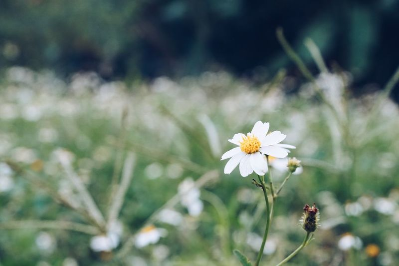 Flower Nature Fragility Growth White Color Focus On Foreground Freshness Petal Beauty In Nature Blooming Outdoors Flower Head Plant No People Close-up Day