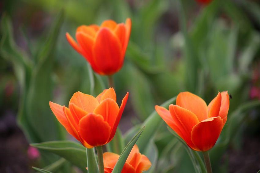 Red Tulips Red Tulips Up Close Petals Red Tulip Tulipa Kaufmanniana Seerosentulpe
