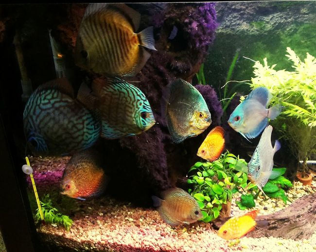 Aqvarium Discus Fish Nature Outdoors Day Animal Themes Close-up Plants 🌱 Relaxation Relaxing Beatiful Sea Life Aquarium Multi Colored Water World  Aquarium Life AQVA Water Fish