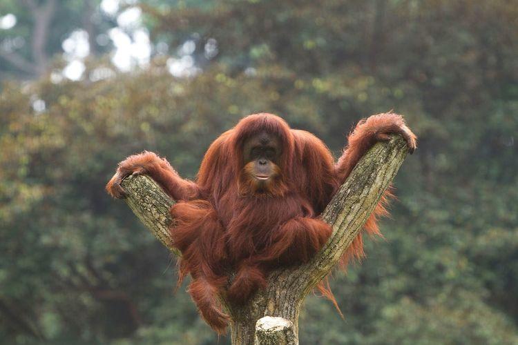 Primate Monkey Orangutan No Person Animal Portrait Looking At Camera EyeEm Gallery Endangered Species EyeEm Selects EyeEm Eyeem Market Beautiful Animals  Ape Funny Moments No People Funny Zoo EyeEmNewHere Animal Themes FUNNY ANIMALS