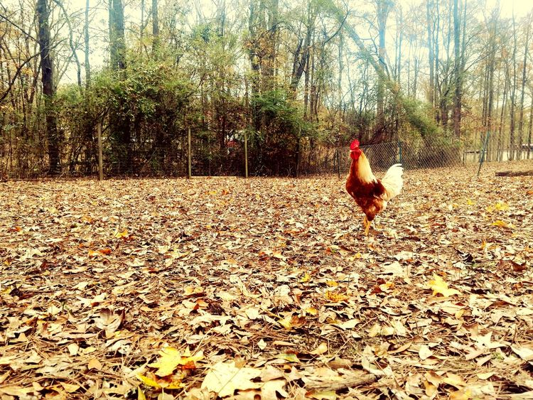 Animal Themes Bird Tree Chicken - Bird No People Livestock Nature Domestic Animals Hen Day Mammal Outdoors Rooster