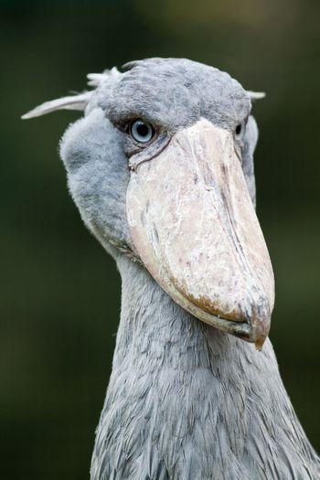 Close-up of shoebilled stork