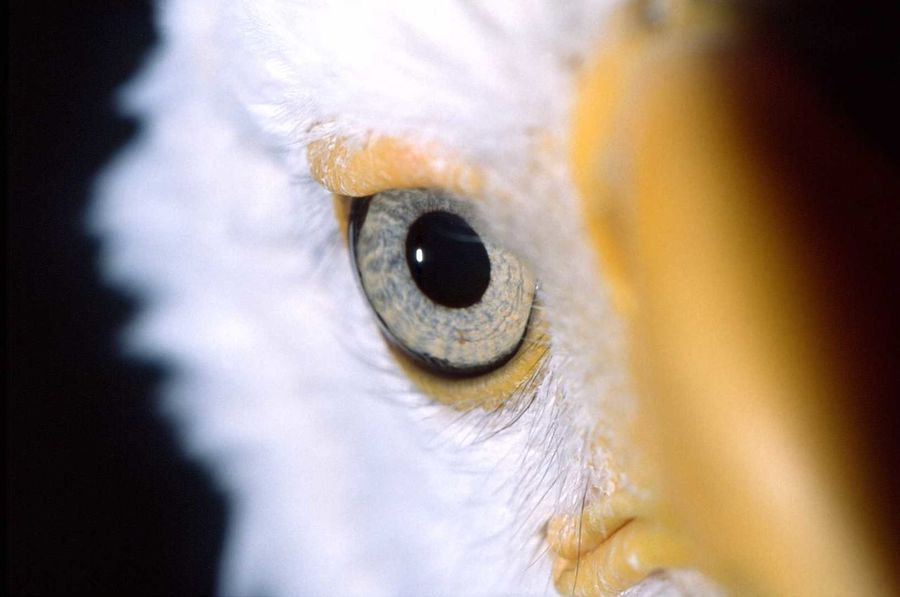 Bird Close-up Eyeball No People One Animal Weißkopfseeadler White Color Yellow Color Zoo