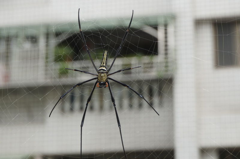 Spider Spiderweb Spider Web Web Relaxing Long Legs Scary Taiwanese Spider