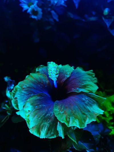 hibiscus Flower Floariaputrajaya Hibiscus 🌺 Hibiscus Hibiscus Close-up Blue Close-up