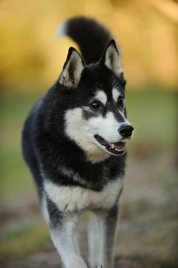 Portrait of black and white Siberian Husky One Animal Animal Animal Themes Dog Canine Domestic Animals Pets Domestic Sled Dog Looking Field Looking Away No People Close-up Day Land Outdoors Animal Head  Siberian Husky Husky Vertical
