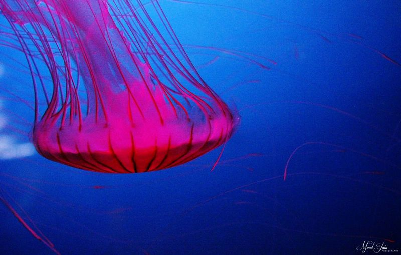 Jellyfish Underwater Sea_collection Canon Macro_collection Details Pink Color Edit Spongy  Dubai❤ Showcase July