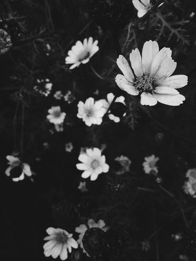 Flower Flower Head Nature Plant Beauty In Nature No People Outdoors Freshness Close-up Day EyeEmNewHere Nature Beauty In Nature Rose - Flower Black And White Friday Petal Blackandwhite Black And White Black & White Blackandwhite Photography Black Background Black And White Photography Black&white Blackandwhitephotography