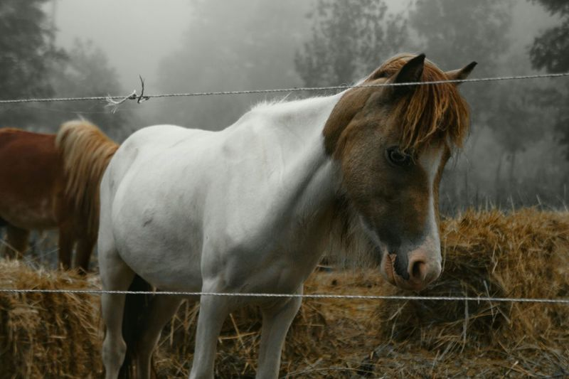 Miniature horses in ranch
