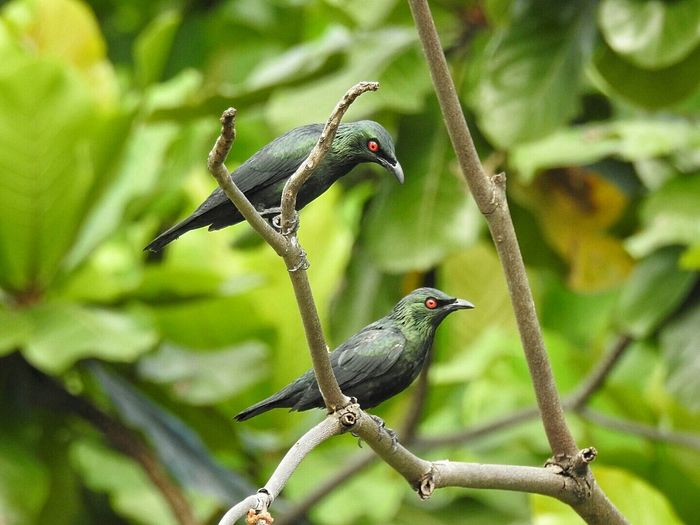 Feathers Leafes And Trees Perched On A Branch Malaysia Bird Photography Perched Perched Bird Perching Bird Birds Eyes Evil Eye Red Eyes Perching Birdwatching Green Red Perch Evileye Feathered Eye4photography  Starling Feathered Friends Bird Outside Asian Glossy Starling