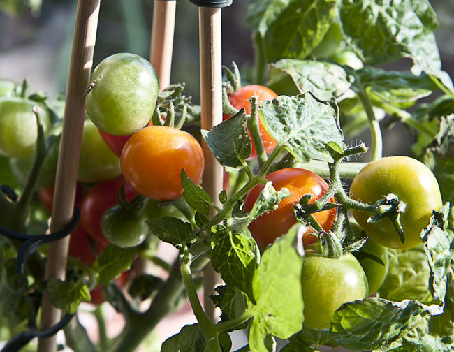 Agriculture, cherry tomato potted plant with green and red tomatoes Branch Cherry Tomatoes Close-up Day Focus On Foreground Food Freshness Green Color Growth Hanging Harvest Season Healthy Eating Horticultural Crop Leaf Nature No People Organic Food Outdoors Red Salad Tomato Plant Vegan Vegetable Vegetarian