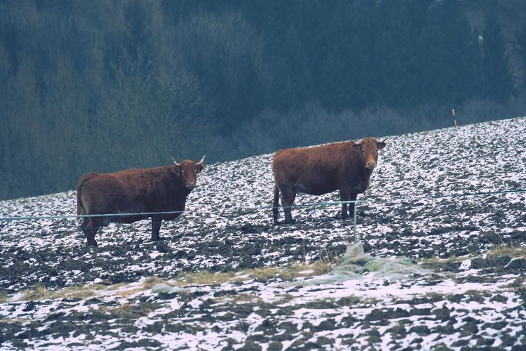 Hairy north cows  standing on snow covered land