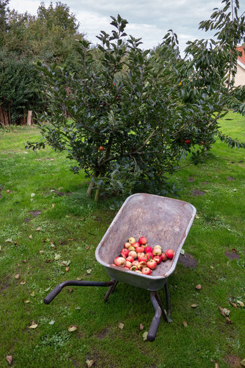 View of apple on grass in field