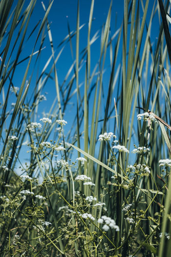 Plant Growth Nature Day Beauty In Nature No People Sky Focus On Foreground Close-up Tranquility Land Flowering Plant Selective Focus Field Flower Green Color Grass Blue Sunlight Outdoors Blade Of Grass