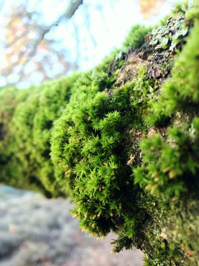 Eye4photography  EyeEmBestPics EyeEm Selects EyeEm Selects Plant Green Color Growth Tree Beauty In Nature No People Day Nature Tranquility Close-up Focus On Foreground Outdoors Branch Selective Focus Moss Sunlight Low Angle View Leaf Land Plant Part