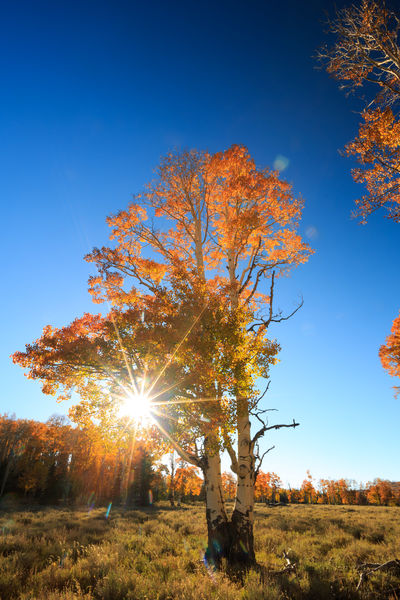 Autumn sunshine No People Sky Tree Nature Growth Sunshine Sunburst Through Trees Sunburst Beauty In Nature Autumn Autumn Leaves Autumn Colors Seasonal Orange Orange Tree Natgeolandscape Bestoftheday Best EyeEm Shot Vertical Composition Vertical Dixie National Forest Betterlandscapes